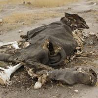 The carcass of one of the many elephants that have been poisoned with cyanide by poachers who hack off their tusks for the lucrative illegal ivory market rots in Hwange National Park, Zimbabwe, last September.   AP
