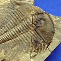 The trilobite, a creature that thrived in the seas for millions of years, was one of many animals wiped out in a mass extinction 252 million years ago that has been blamed on a microbe that spewed huge amounts of methane into Earth's atmosphere.   REUTERS
