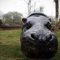 A pygmy hippo is seen Thursday at London Zoo. In Copenhagen, the city zoo says it will continue to openly cull animals to show the truth about their lives in captivity. | AFP-JIJI