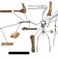 Fragments of a skeleton of Kryptodrakon progenitor that was found in northwest China are shown in this illustration courtesy of paleontologist Brian Andres.   REUTERS