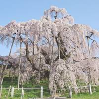 Petal power: The famous solitary taki-zakura (waterfall cherry tree) in Miharu, Fukushima Prefecture, is a popular tourist spot in spring. | KYODO