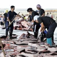 Fishermen cut up blocks of meat from a 10-meter-long bottlenose whale slaughtered at the port of Wada in Minami-Boso, Chiba Prefecture, in June 2008. | AFP-JIJI