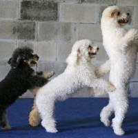 Several of the Olate performing dogs, (from left) Loca, Copo and Toby, practice during a training session in Sorrento, Florida. | AP