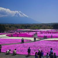 Stunning: The Fuji Shibazakura Festival makes for a great photo opportunity.
