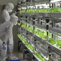 Workers inspect lettuce at the Aizu-Wakamatsu Akisai Vegetable Plant, in Fukushima Pref. | COURTESY OF FUJITSU