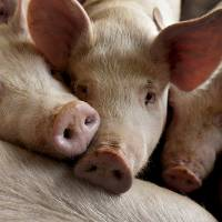 Pigs huddle in a weaning-to-market barn in Strawn, Illinois, in March 2012. | BLOOMBERG