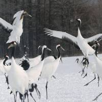 Red-crowned cranes gather at the Kushiro wetlands in Tsurui, Hokkaido, in February. | KYODO