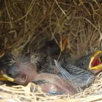 Ingenious method: Darwin's finch nestlings on the Galapagos Islands face a deadly parasitic threat. Researchers have found a way to protect the birds from fly maggots by offering the birds insecticide-treated cotton for incorporation into their nests. | REUTERS