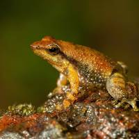 Downstairs for dancing: One of the 14 new species of so-called dancing frogs discovered in the jungle mountains of southern India. | AP