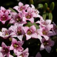 Alpine azaleas generally comprise tiny pink clusters of flowers, each just a few millimeters across. | MARK BRAZIL