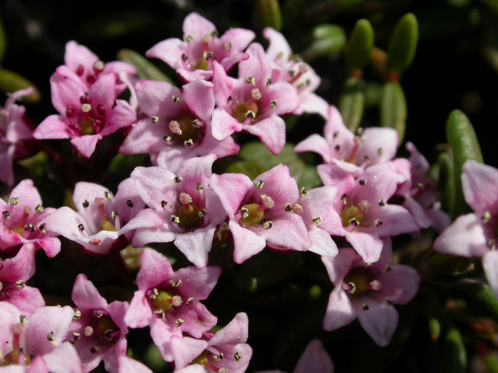 Rhododendrons Azaleas Blooming Marvels Of The Plant World The