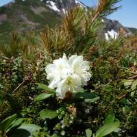 Mountain magic: Few sights are as impressive as a Rhododendron aureum in bloom at Daisetsuzan National Park in central Hokkaido. | MARK BRAZIL