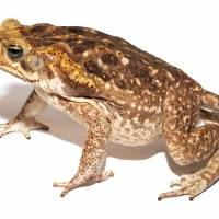 Invasive pest: Cane toad populations have been found on several Okinawa and Ogasawara islands. | WIKICOMMONS