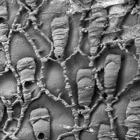 This picture from the natural History Museum in London shows clusters of Protulophila, a microscopic marine creature believed to have been extinct for 4 million years that was recently found alive and well in New Zealand waters, researchers said Thursday.  | AFP-JIJI
