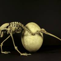 A kiwi skeleton and an elephant bird egg are seen in this photo Thursday by New Zealand's Canterbury Museum. | REUTERS