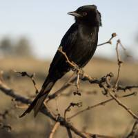 A fork-tailed drongo | REUTERS