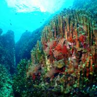 Threatened: Spectacular corals are still thriving in Oura Bay, northeast Okinawa. Part of this bay would be filled in to make way for a new runway for U.S. forces on reclaimed land off Nago under a plan agreed by the Japanese and U.S. governments.  | OSAMU MAKISHI