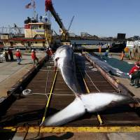 A deceased 55-foot-long (17-meter-long) finback whale sits on a dry dock in Jersey City, New Jersey, after it was pulled out of the water. A spokesman for the Marine Mammal Stranding Center said it is not uncommon for whales to make their way into shipping lanes as they travel up and the down the East Coast, though they don't usually stray into the harbor. According to the National Oceanographic and Atmospheric Administration, the number of whale strikes is unusually high this year. | AP