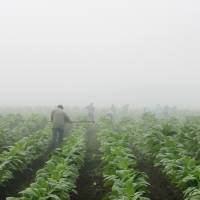 Farm workers make their way across a field shrouded in fog as they hoe weeds from a burley tobacco crop near Warsaw, Kentucky, in July 2008. You may have to be at least 18 to buy cigarettes in the U.S., but children as young as 7 are working long hours in fields harvesting nicotine- and pesticide-laced tobacco leaves under sometimes hazardous and sweltering conditions, according to a report released Wednesday by Human Rights Watch. | AP