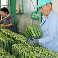 Square watermelons are checked prior to shipment Wednesday in Zentsuji, Kagawa Prefecture. | KYODO