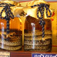 Habu (poisonous pit vipers) in a striking pose in gallon jars of habushu, an Okinawan drink with bite. | HILLEL WRIGHT