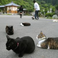 Cats make themselves comfortable at Gotanjoji Temple in Echizen, Fukui Prefecture, on June 17. | KYODO