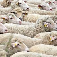 All wool: Sheep have a a four-compartmented stomach that can convert rich plant materials into animal protein. | AFP-JIJI