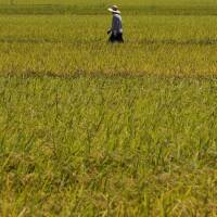 Imperilled staple: Rice fields in central and southern Japan may face yields decimated by as much as 40 percent as the effects of global warming take hold.   BLOOMBERG