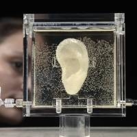 A woman looks at a living replica of Dutch painter Vincent van Gogh's famously severed ear that is being displayed at the ZKM Center for Art and Media in the city of Karlsruhe on Wednesday. | AFP-JIJI