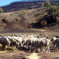 Sheep are seen in fire-scarred mountainous terrain near the town of Coonabarabran in southeastern Australia in this undated photo provided by Frank and Micky Whitehouse. | AFP-JIJI