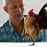 A judge watches a Serama chicken strut down a judging table during a contest at Kampung Pandan in Kuala Lumpur on May 17. | AFP-JIJI