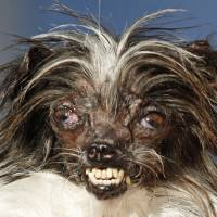 Peanut is held by owner Holly Chandler on Friday after winning the World's Ugliest Dog Contest in Petaluma, California. | AP
