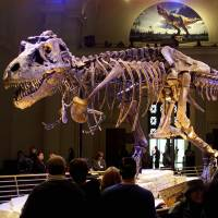 A 41-foot-long Tyrannosaurus rex, discovered near Faith, South Dakota, and dating from 67 million years ago, is displayed at the Field Museum in Chicago. On the question of whether dinosaurs were warm-blooded like mammals or cold blooded like reptiles, scientists said Thursday the giant creatures were in fact mesotherms: somewhere in between. | REUTERS