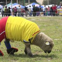 A sheep dressed in the colors of the Colombian national soccer team grazes during an exhibition game in Nobsa on Sunday ahead of the World Cup in Brazil. | REUTERS