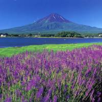 Royal purple surrounds majestic Mount Fuji
