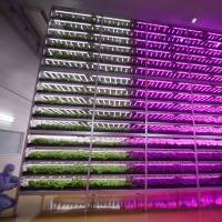 A worker tends to vegetables at the world's largest vegetable factory using LED lighting in Tagajo, Miyagi Prefecture, on Wednesday. | KYODO