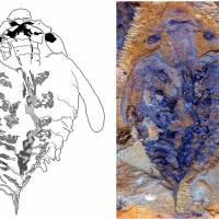A side-by-side comparison reveals the similarity between the brain of a living onychophoran (left) and that of the anomalocaridid fossil of a Lyrarapax unguispinus, as seen in an undated handout illustration courtesy of the University of Arizona. | REUTERS