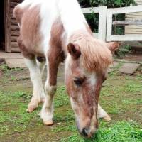 Garucho, the last of two male ponies given to the Imperial family by Argentina in 1979, grazes earlier this month at Kodomonokuni children's park in Yokohama. | KODOMONOKUNI/KYODO