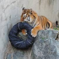 A tiger chews on denim jeans wrapped around a tire at Kamine Zoo in Hitachi, Ibaraki Prefecture. The jeans sold at auction to raise funds for the zoo and the WWF. | I&S BBDO