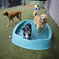 Dog days of summer: Golden retriever Ceili relaxes in a play area with a few friends at the Morris Animal Inn. Ceili is on a health program at the facility, which involves swimming and other exercises. | AP