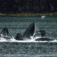 Big promises: U.S. President Barack Obama hopes to enact policies to protect marine life in the south-central part of the Pacific. Many scientists agree that sea life such as these feeding humpback whales play an essential role in the natural ecosystem.
