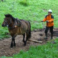 Equine worker: Sora, a 12-year-old Kiso horse, does her duty hauling timber for one of only six active horse-loggers in all of Japan. | C.W. NICOL