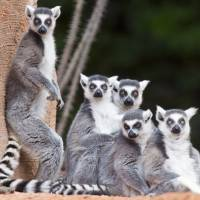 Hint #7: Small creatures set loose in a venue — such as ring-tailed lemurs — can be a welcome distraction during public-speaking ordeals. | KYODO