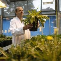 Project manager Dirk Pruefer inspects dandelion plants at a greenhouse of the Fraunhofer Institute for Molecular Biology and Applied Ecology in Muenster, Germany, on Aug. 14. | REUTERS