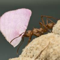 South American leafcutter ants house internal populations of microbes that have developed unique ways to deal with the stresses of life. | REUTERS
