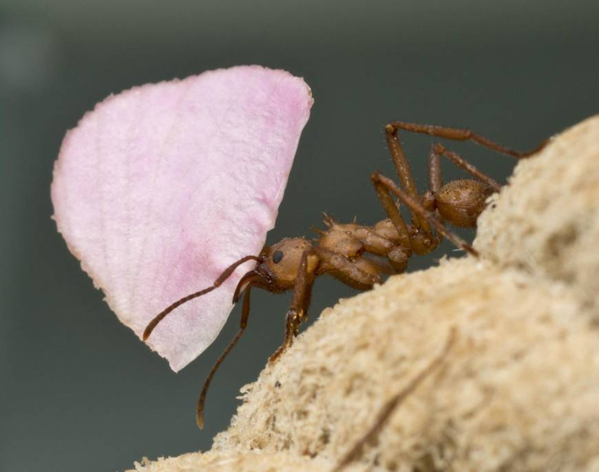 The search for new antibiotics turns to insect guts and genome mining