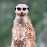 A meerkat watches visitors at the ZOOM zoo in Gelsenkirchen, Germany, on Aug. 8. | AFP