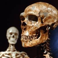 A reconstructed Neanderthal skeleton (front) and a skeleton typical of a modern human stand on display at the Museum of Natural History in New York.   AP