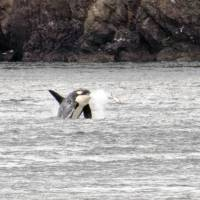 An orca breaches toward a salmon just west of the San Juan Islands in Puget Sound in August 2013. | KEVIN NICHOLS