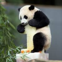 Panda cub Bao Bao climbs onto her birthday cake at the National Zoo in Washington on Saturday. Bao Bao is only the second panda born at the zoo to survive to her first birthday. | AP
